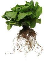 Che cosa si può crescere con la coltura idroponica?