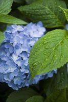 Sono Hydrangea piante velenose per animali?
