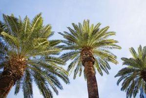 Crescita Palm Tree Root