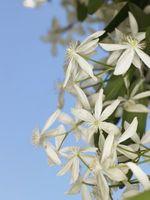 Perché hanno le foglie del Clematis diventata marrone?