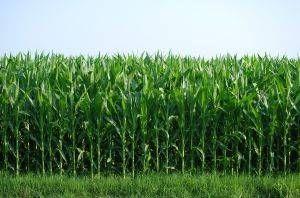 A proposito di grano in crescita