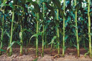 Che cosa è mangiare il mio mais a livello del suolo?