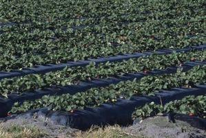 Come coltivare fragole in Trench sopraelevati