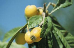 Quali sono le cause di un albero Cascante Nespolo?