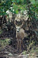 Deer Resistente Hedges in Texas