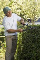 Come piantare una siepe di ligustro