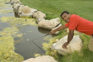 Orzo fieno per le alghe in stagni
