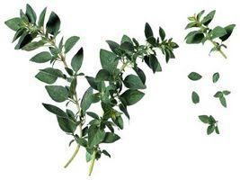 Come asciugare e Save origano foglie dopo un gelo o di tempo freddo
