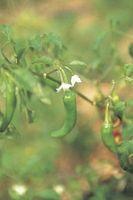 Come coltivare un buon Jalapeno