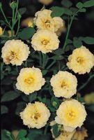 Bianco crescita Fuzzy in parata Roses