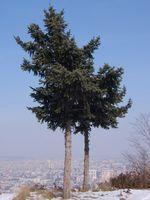 Quali piante crescono sotto gli alberi di pino?