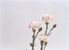Piccoli fiori rosa e bianchi con Jagged petali