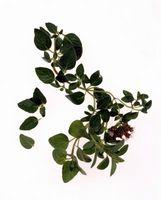 Come prendersi cura di una pianta di origano
