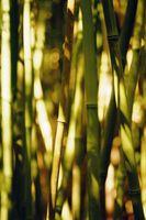 Gli effetti negativi di piantare bambù