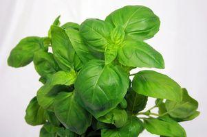 Come coltivare e cura per le piante di basilico