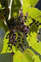 Plant Food per le uve