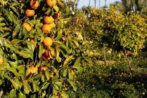Come rimuovere arance da un albero dopo un gelo
