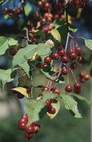 Ho spruzzato Orthene on My Cherry Tree & Ora le foglie sono cadute: cosa è successo?