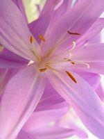 La coltivazione dello zafferano fiori in South Carolina USA