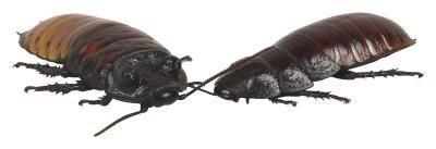 Modi fatti in casa per uccidere scarafaggi