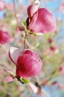 Come sbarazzarsi di piaghe su un albero di magnolia