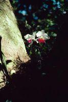 Le piante che crescono sotto alberi di canfora