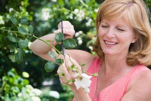 Come potare Astri, Salvia e altre piante da fiore