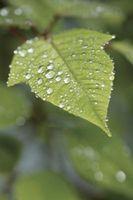 Gli effetti del cloro sulla clorofilla delle piante