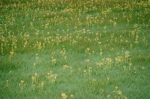 Come identificare le piccole erbacce con piccoli fiori blu in Prati