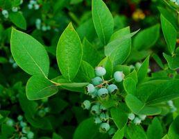 Elenco dei Piante e arbusti che dovrebbero evitare Lime
