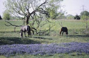 Quanto dura il periodo di Texas Bluebonnet germinazione?
