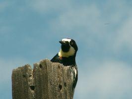 Come riparare i danni Woodpecker