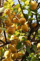 Come prendersi cura di alberi di agrumi nella stagione fredda
