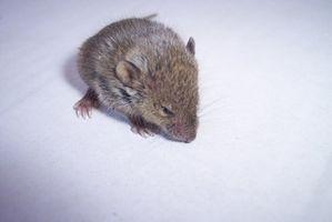 Come sbarazzarsi del odore di urina di topi