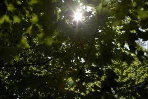Grandi macchie nere sulle foglie di acero