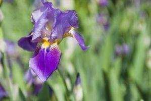 Quanto tempo prima Iris piante fioriscono dopo la semina?