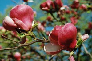 Quali sono le cause macchie bianche sul foglie di magnolia?