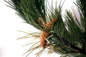 Alberi sempreverdi con aghi del pino