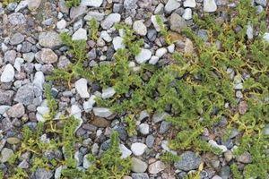 Come usare candeggina per uccidere le erbacce in passi carrai di ghiaia