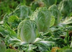 Come piantare verdure di primavera in North Carolina