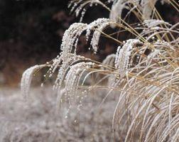 Come per ringiovanire le piante dopo un gelo