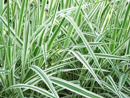 Bassa crescita Erba ornamentale in Florida