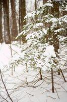 In rapida crescita e siccità alberi resistenti