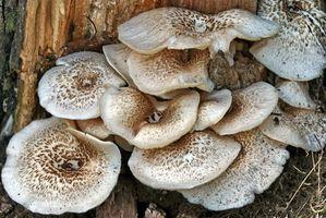 Come preparare compost di funghi
