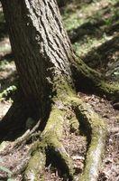 Come prendersi cura di danni alle radici su un albero