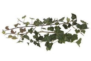 Come pianta di edera in una cornice di sicurezza Corona