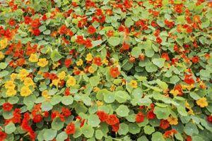 Come piantare semi di nasturzio