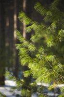Quali sono le cause gli aghi sul pino Pianticelle a ingiallire?