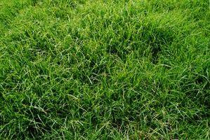 Semi di erba ibrida per un prato ombra parziale
