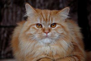 Home rimedi per rendere i capelli di un gatto ricrescere